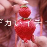 デカイイチゴは通販で買える?おすすめ品種と楽天購入は?
